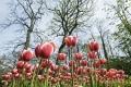tulpen-tulpenbeet-e_mg_2823