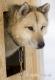 schlittenhunde-groenland-groenlaender-portrait-portraet-husky-1-sony_dsc1452