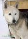 schlittenhunde-siberian-sibirischer-husky-1-sony_dsc1448
