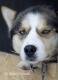 schlittenhunde-siberian-blaue Augen-sibirischer-husky-1-sony_dsc1704
