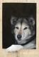 siberian-sibirischer-husky-portrait-portraet-2_dsc6965