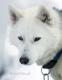 siberian-sibirischer-husky-portrait-portraet-weiss-1-sony_dsc1710