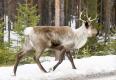 Rentier-Schweden-Winter-Schnee-2_DSC6986.jpg