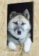 groenlaender-groenland-husky-portrait-portraet-schlappohr-1-sony_dsc1715