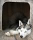 schlafender-siberian-husky-2_dsc6957
