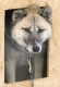 schlittenhunde-groenland-groenlaender-portrait-portraet-husky-schlappohr-1-sony_dsc1450