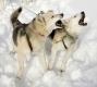 schlittenhunde-siberian-sibirischer-husky-bellend-jaulend-1-sony_dsc1402a