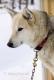 schlittenhunde-siberian-sibirischer-husky-1-sony_dsc1449