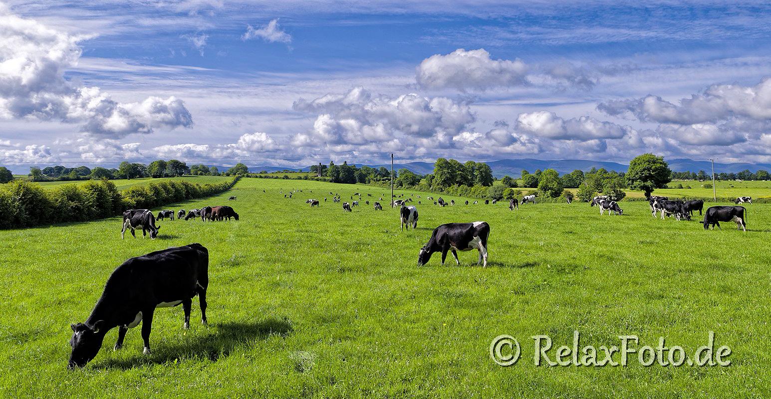 Irland-Viehweiden-Weidewirtschaft-Kuehe-Kuh-Kuhherde-irische-Landschaften-A_SAM5209