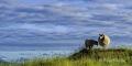 Irland-Schafe-Tiere-Weiden-Wiesen-Landschaften-irische-A-Sony_DSC2743