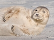 Seehund-Helgoland-B_SAM0164a