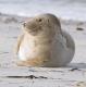 Seehund-Helgoland-B_SAM0184