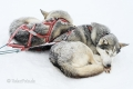 Husky-Huskies-schlitten-hunde-Finnland-Norwegen-Schweden-A_NZ7_1421 Kopie