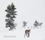 Rentier-winter-schnee-Lappland-Finnland-Norwegen-Schweden-C_NIK_8268a Kopie