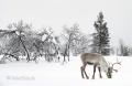 Rentier-winter-schnee-Lappland-Finnland-C_NIK_8272a Kopie