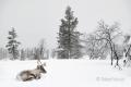 Rentier-winter-schnee-Lappland-Finnland-C_NIK_8274a Kopie