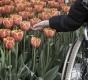 rollstuhlfahrer-natur-tulpenbeet-e_mg_1408