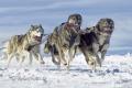 Huskies-Husky-Schlittenhunde-Rennen-A_SAM0743.jpg