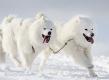 huskies-husky-samojede-schlittenhunde-rennen-1_dsc7394