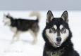 huskies-husky-schlittenhunde-portrait-portraet-1_dsc6209