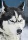huskies-husky-schlittenhunde-portrait-portraet-1_dsc6247