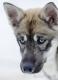 huskies-husky-schlittenhunde-portrait-portraet-1_dsc6911