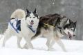 huskies-husky-schlittenhunde-rennen-1_dsc6619