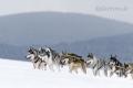 huskies-husky-schlittenhunde-rennen-1_dsc6700