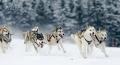 huskies-husky-schlittenhunde-rennen-1_dsc7361