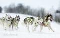 huskies-husky-schlittenhunde-rennen-1_dsc7377
