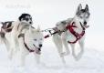 huskies-husky-schlittenhunde-rennen-1_dsc7405