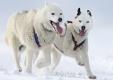 huskies-husky-schlittenhunde-rennen-1_dsc7433