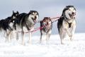 huskies-husky-schlittenhunde-rennen-7-c_mg_2644