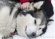 huskies-husky-schlittenhunde-streicheln-kinderhand-1_dsc6921