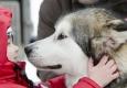 huskies-husky-schlittenhunde-tierfreundschaft-kind-streicheln-1_dsc6929