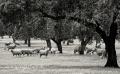 Extremadura-Dehesas-Schafe-Schafherde-Dehesas-Spanien-B_DSC0061 Kopie