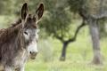 Extremadura-Esel-Spanien-2_DSC7373 Kopie