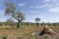 Extremadura-Olivenbaeume-Spanien-A_DSC9581 Kopie
