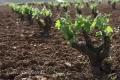 Extremadura-Weinreben-Spanien-A_DSC9634 Kopie