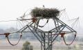 Extremadura-Weissstorch-Nest-Strommast-Spanien-2_DSC7340 Kopie