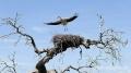 Extremadura-Weissstorch-Nest-fliegend-Spanien-B_DSC0076 Kopie
