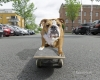 Englische-Bulldogge-english-bulldog-bedrohlich-drohend-angriffslustig-Skateboard-A_SAM3922a-1