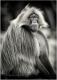 affe-pavian-gelada-blutbrustpavian-portrait-portraet-2_dsc3187sw