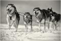 huskies-schlittenhunderennen-7-c_mg_2644