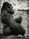 silberruecken-gorilla-mahlzeit-2_dsc4442