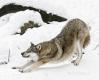 wolf-strecken-schnee-winter-7-a_mg_0135