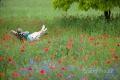 mann-relaxen-entspannung-ruhe-mohn-blumen-wiese-j_mg_1174